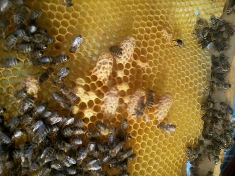 Méhanya bölcső